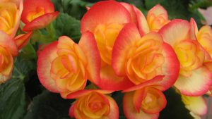 Orange Flowered Wallpaper with Begonia