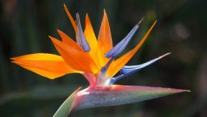 Orange Flowered Wallpaper with Bird of Paradise Flower