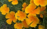 Orange Flowered Wallpaper with California Poppies