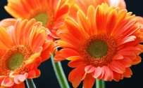 Orange Flowered Wallpaper with Close Up Daisy Flower