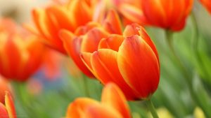 Orange Flowered Wallpaper with Close Up Tulips Flower