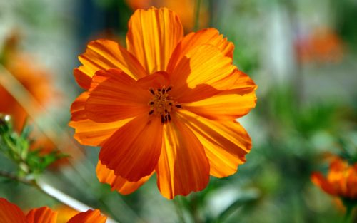 Orange Flowered Wallpaper with Cosmos Flower