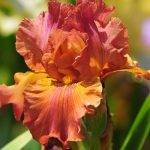 Orange Flowered Wallpaper with Iris Flower