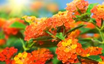 Orange Flowered Wallpaper with Lantana Flower