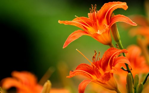 Orange Flowered Wallpaper with Lily Flower