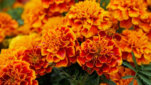 Orange Flowered Wallpaper with Marigold