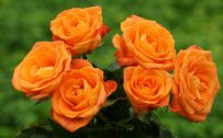 Orange Flowered Wallpaper with Roses