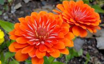 Orange Flowered Wallpaper with Zinnia Flower