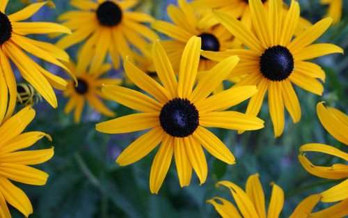 Yellow Flowered Wallpaper with Black Eyed Susan Flower