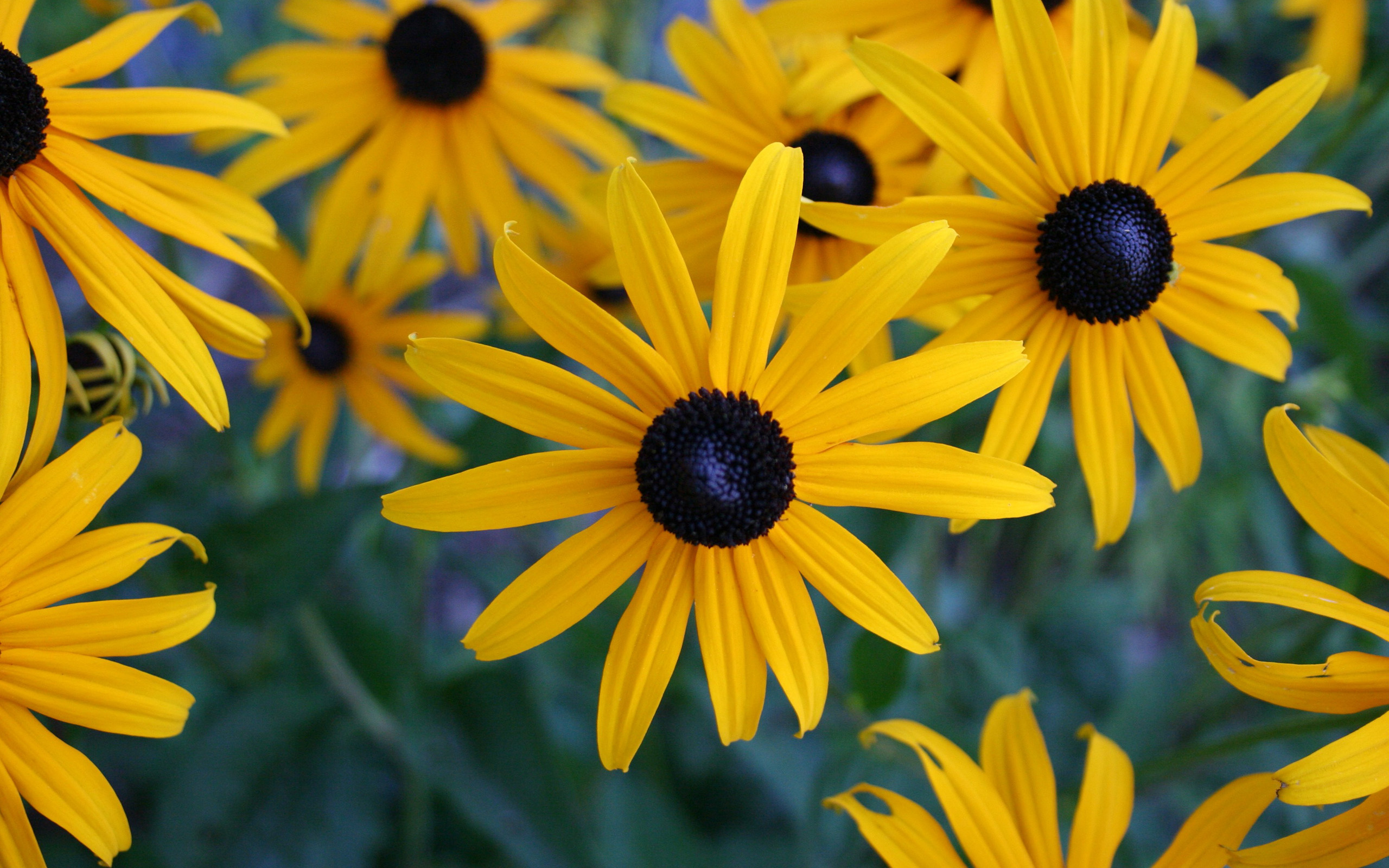 Yellow Flowered Wallpaper with Black Eyed Susan Flower ... Yellow Black Flowers Wallpaper