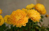 Yellow Flowered Wallpaper with Chrysanthemum Flower