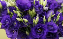 Flower That Looks Like A Rose with Eustoma Flower Picture in Close Up