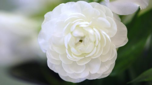 High Resolution Picture of Flower That Looks Like A Rose with White Ranunculus