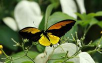 Pictures Of Flowers And Butterflies with The Wallaces Golden Birdwing