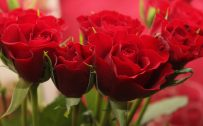 Pictures Of Red Roses in Close Up for Wallpaper