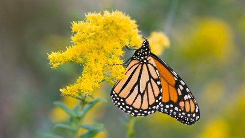 4K Nature Wallpaper with Picture of Monarch Butterfly on Goldenrod Flower