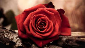 Artistic Close Up Photo of Red Rose for Wallpaper