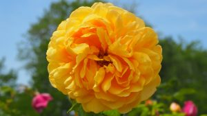 Close Up Photo of Yellow Rose Flower for Wallpaper