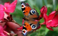 Close Up Picture of Peacock Butterfly on Red Flowers