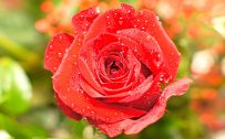 High Resolution Close Up Photo of Wet Red Rose for Wallpaper