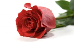 High Resolution Photo of Red Rose in 2560x1440 Pixels for Wallpaper