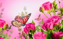 High Resolution Pictures of Rose Flowers and Butterfly for Wallpaper