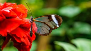Nature Wallpaper in 4K with Picture of Glasswing Butterfly on Red Flower