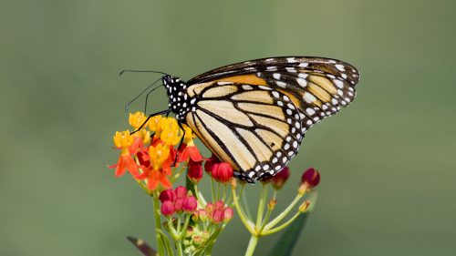 Photo of Monarch Butterfly on Lantana Flower for Wallpaper