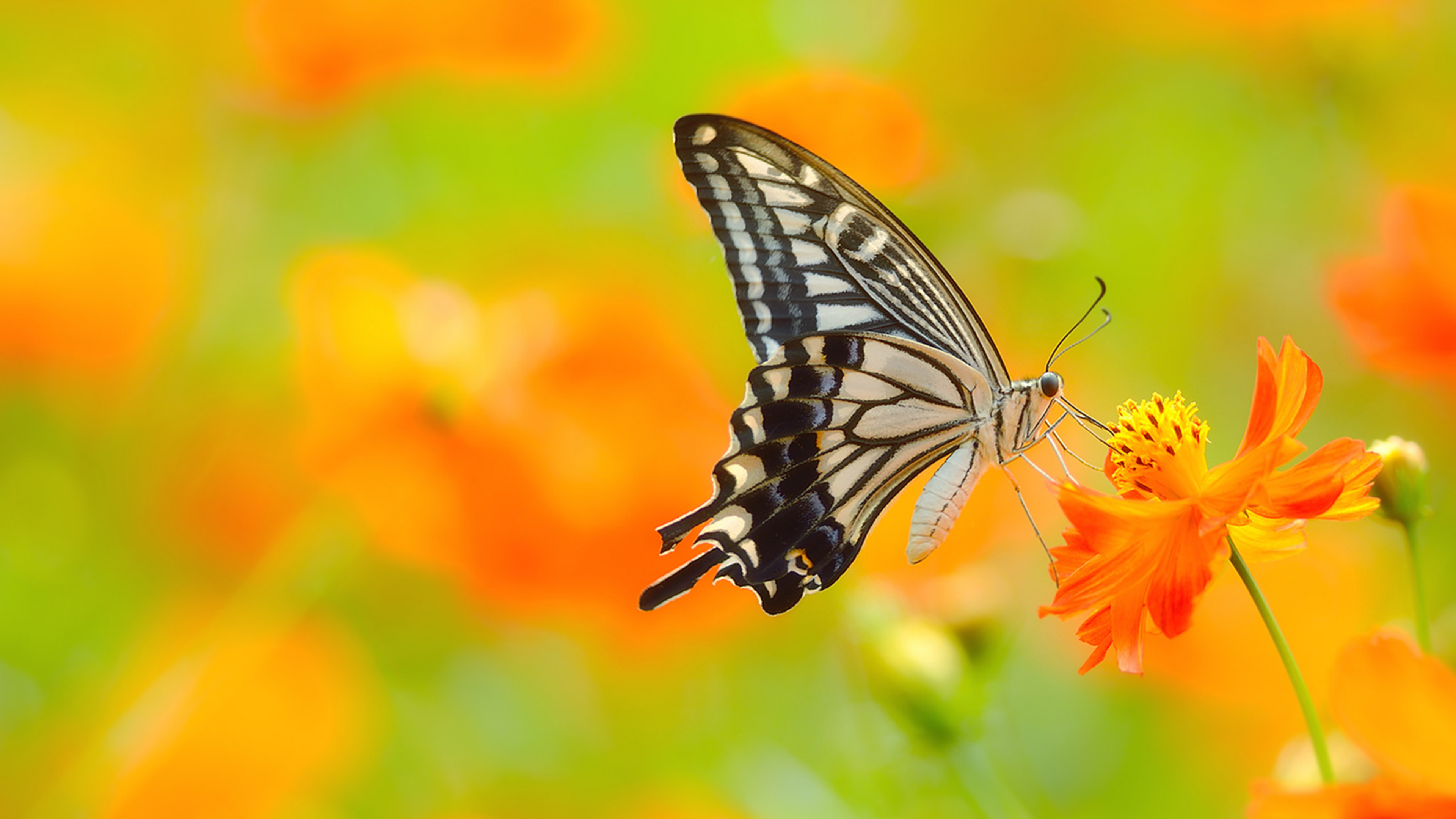 Picture of Butterfly On Flower in 4K Ultra HD Resolution ...