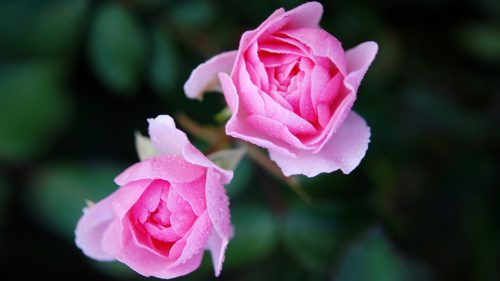 Pictures of Pink Roses for Wallpaper