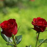 Pictures of Two Red Rose Flowers for Wallpaper