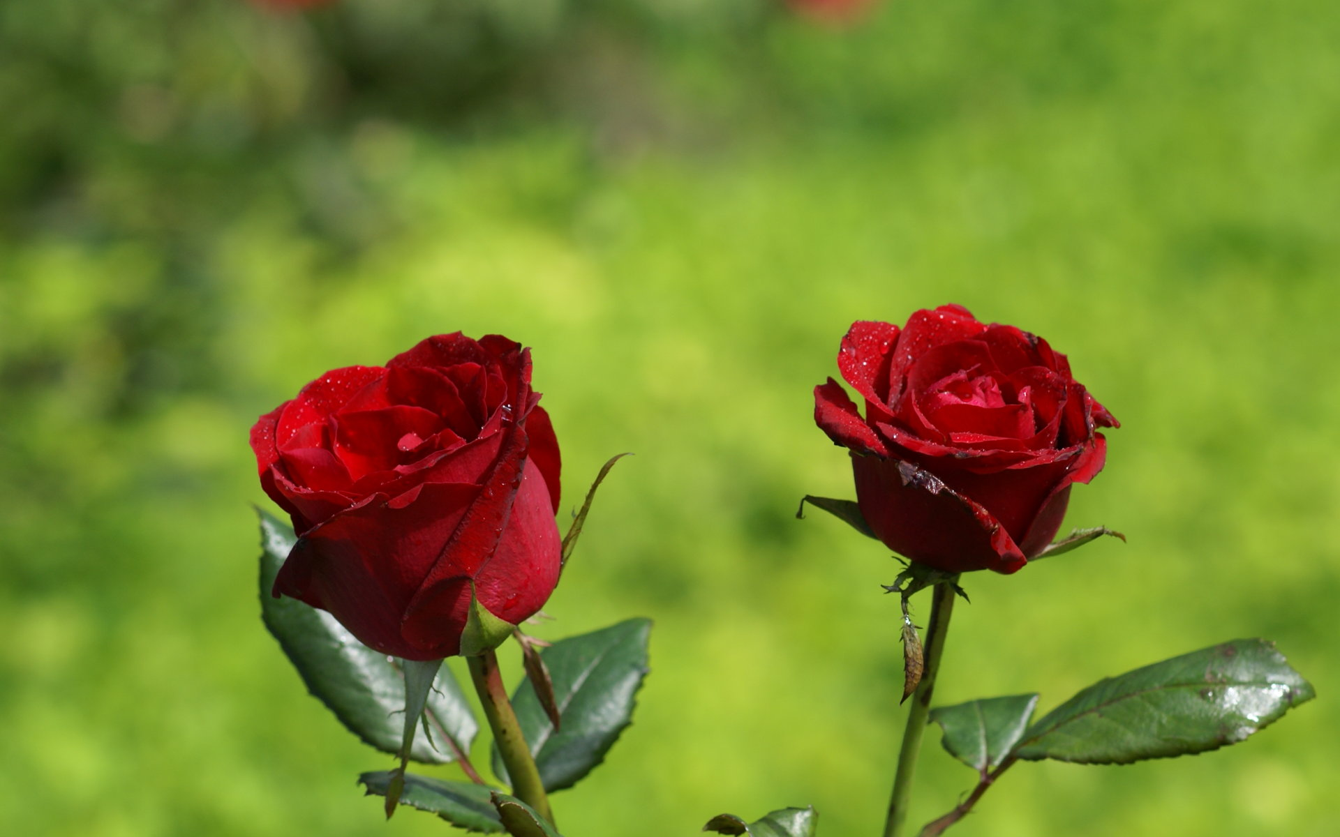 Pictures of two red roses flowers for wallpaper hd - Rose flower images full size hd ...