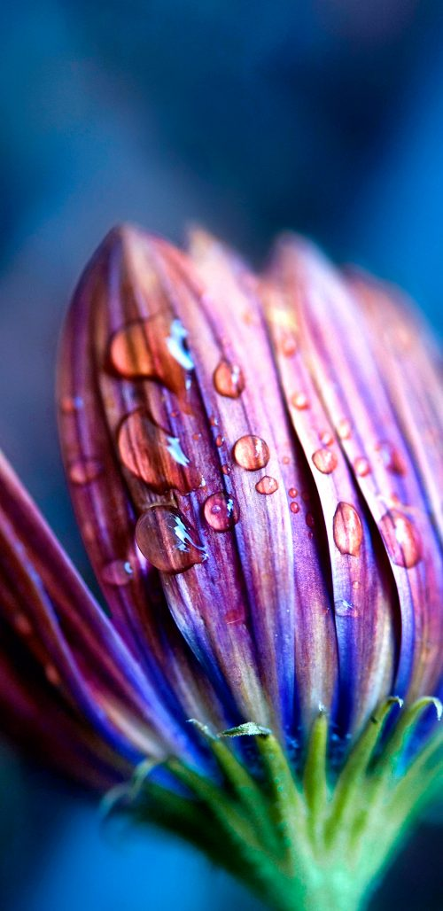 Macro Photo of Flower Bud and Water Drop for Samsung Galaxy S9 Background