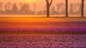 Natural Images HD 1080p Download with Tulips Near The Village of Grolloo