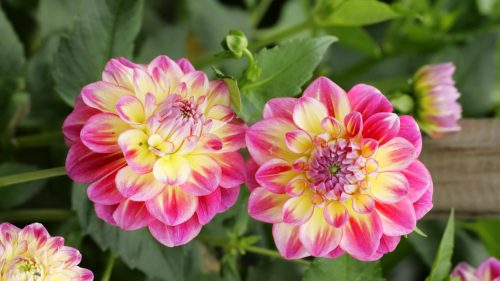 Top 10 - Flowers That Look Like Roses - #01 - Dahlia