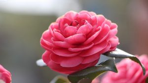 Top 10 - Flowers That Look Like Roses - #02 - Camellia