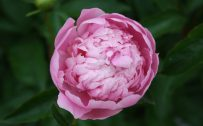 Top 10 - Flowers That Look Like Roses - #03 - Peony