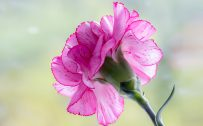 Top 10 - Flowers That Look Like Roses - #04 - Carnation