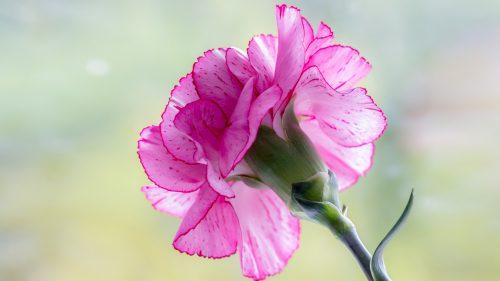 Top 10 - Flowers That Look Like Roses - #04 - Carnation