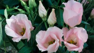Top 10 Flowers That Look Like Roses - #07 - Lisianthus