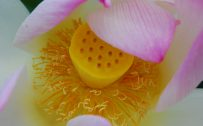 Picture of Lotus Flower Parts in Close Up for Wallpaper