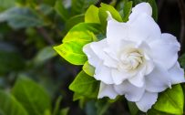 Top 10 Flowers That Look Like Roses - #09 - Gardenia