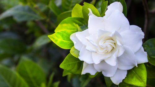 Top 10 Flowers That Look Like Roses - #09 - Gardenia