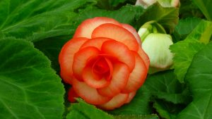 Top 10 Flowers That Look Like Roses - #10 - Double Begonias