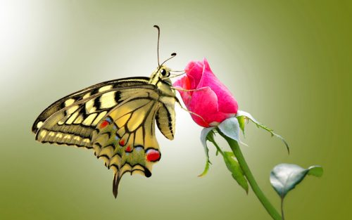 Top 25 Pictures Of Red Roses - #04 - with Butterfly