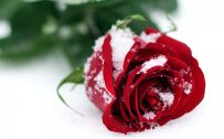 Top 25 Pictures Of Red Roses - #14 - with Snow