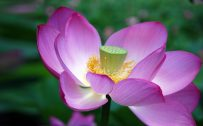 Ultra HD Lotus Flower Pictures with Close Up Seed Head