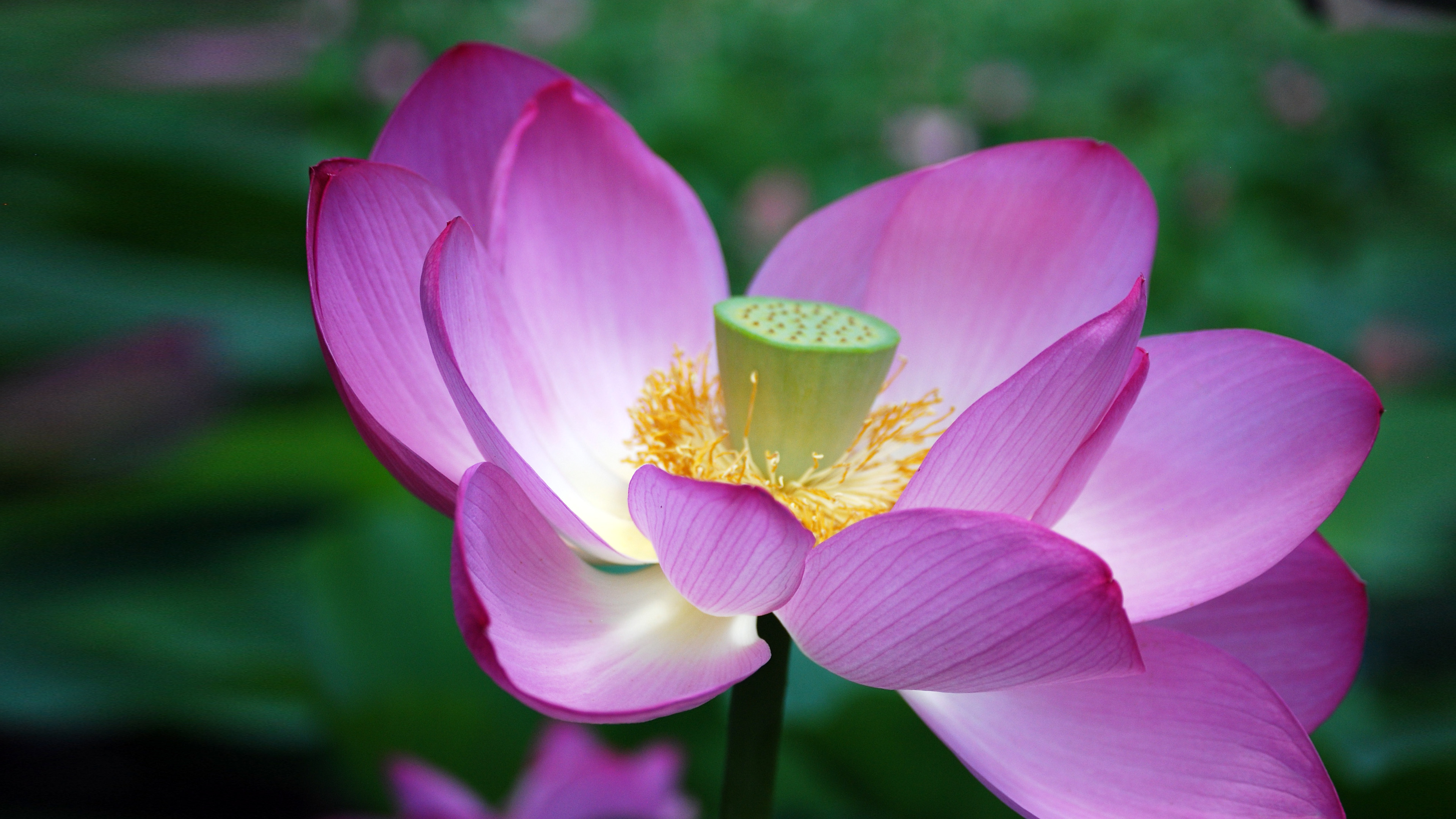 Ultra Hd Lotus Flower Pictures With Close Up Seed Head Hd