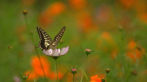 Bokeh Photo of Butterfly and Flower for Desktop Background