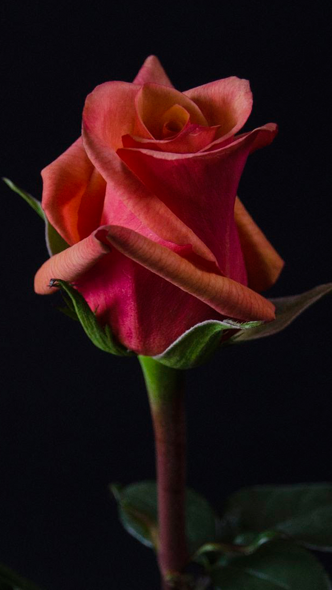 Close up photo of red rose flower with dark background for - Rose flowers wallpaper for mobile ...